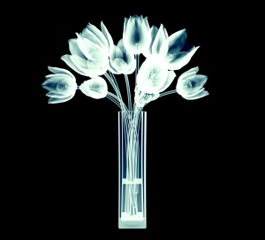 xray image of tulip flowers isolated on black with clipping path